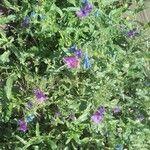 Echium vulgare 花