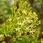 Hubertia ambavilla