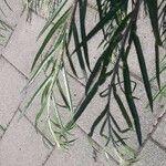 Callistemon citrinus Leaf