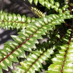 Zanthoxylum heterophyllum