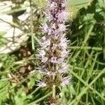 Mentha spicata