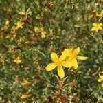 Hypericum triquetrifolium