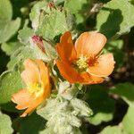 Sphaeralcea lindheimeri