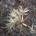 Cyperus amabilis