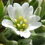 Cerastium peruvianum