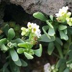 Heliotropium curassavicum
