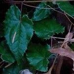 Epimedium membranaceum