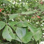 Allophylus