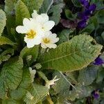 Primula veris Flower