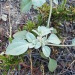 Croton setigerus