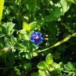 Lysimachia arvensis Flower