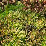 Drosera capensis Habit