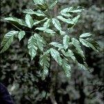 Schefflera heterophylla