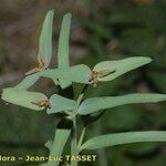 Euphorbia dracunculoides