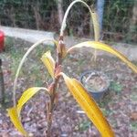 Salix schwerinii