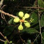 Mikania vitifolia