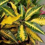 Codiaeum variegatum ഇല