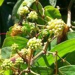 Calliandra trinervia