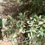 Bauhinia rufescens