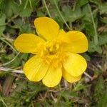 Ranunculus grenierianus