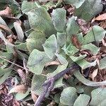 Aeonium virgineum