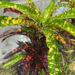 Codiaeum variegatum Leht