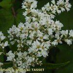 Fagopyrum cymosum