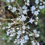 Gypsophila struthium