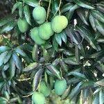 Mangifera indica Frukt