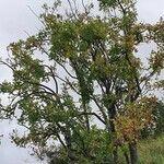 Steganotaenia araliacea