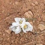 Ornithogalum arabicum