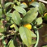 Fortunella japonica 葉