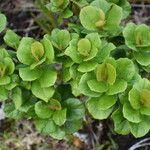 Croton grangerioides