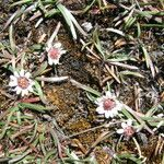 Werneria apiculata