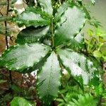 Alyxia loeseneriana