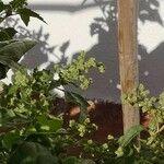 Chenopodium bonus-henricus