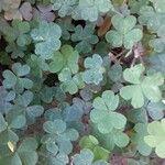Oxalis corniculata 叶