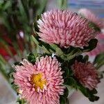 Callistephus chinensis Flower