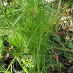 Cyperus papyrus List