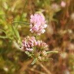 Dorycnopsis gerardi