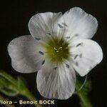 Arenaria hispanica