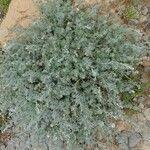 Artemisia atlantica