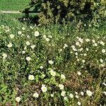 Leucanthemum delarbrei