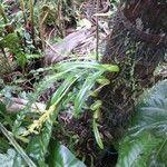 Bulbophyllum primasticum