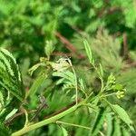 Desmanthus virgatus Virág