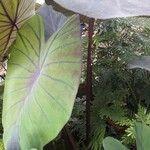 Colocasia esculenta 樹皮