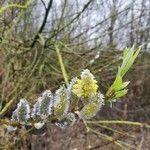 Salix repens
