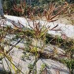 Cyperus rotundus Flower