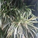 Podocarpus henkelii 葉