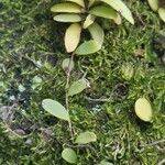 Pyrrosia piloselloides Leaf